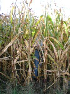 Gareth Glover in crops